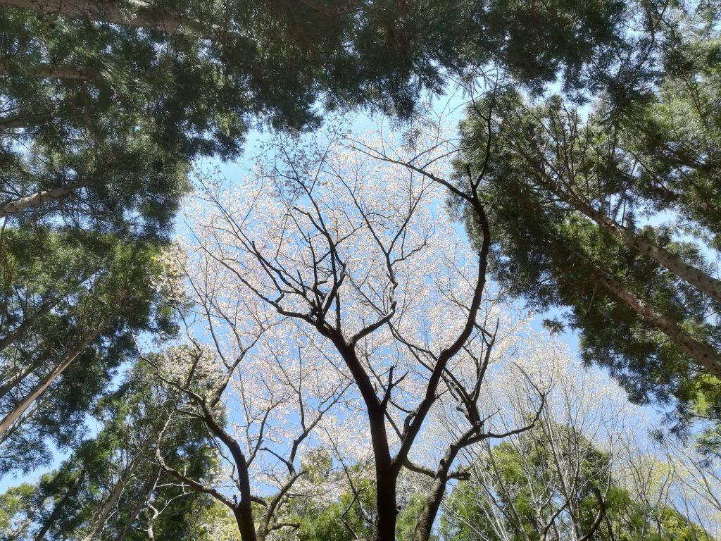 百の山にそびえ立つご神木の山桜